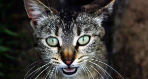 gatto miagola strano