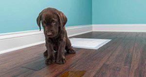 Come insegnare al cane a fare i bisogni sulla traversina (foto iStock)