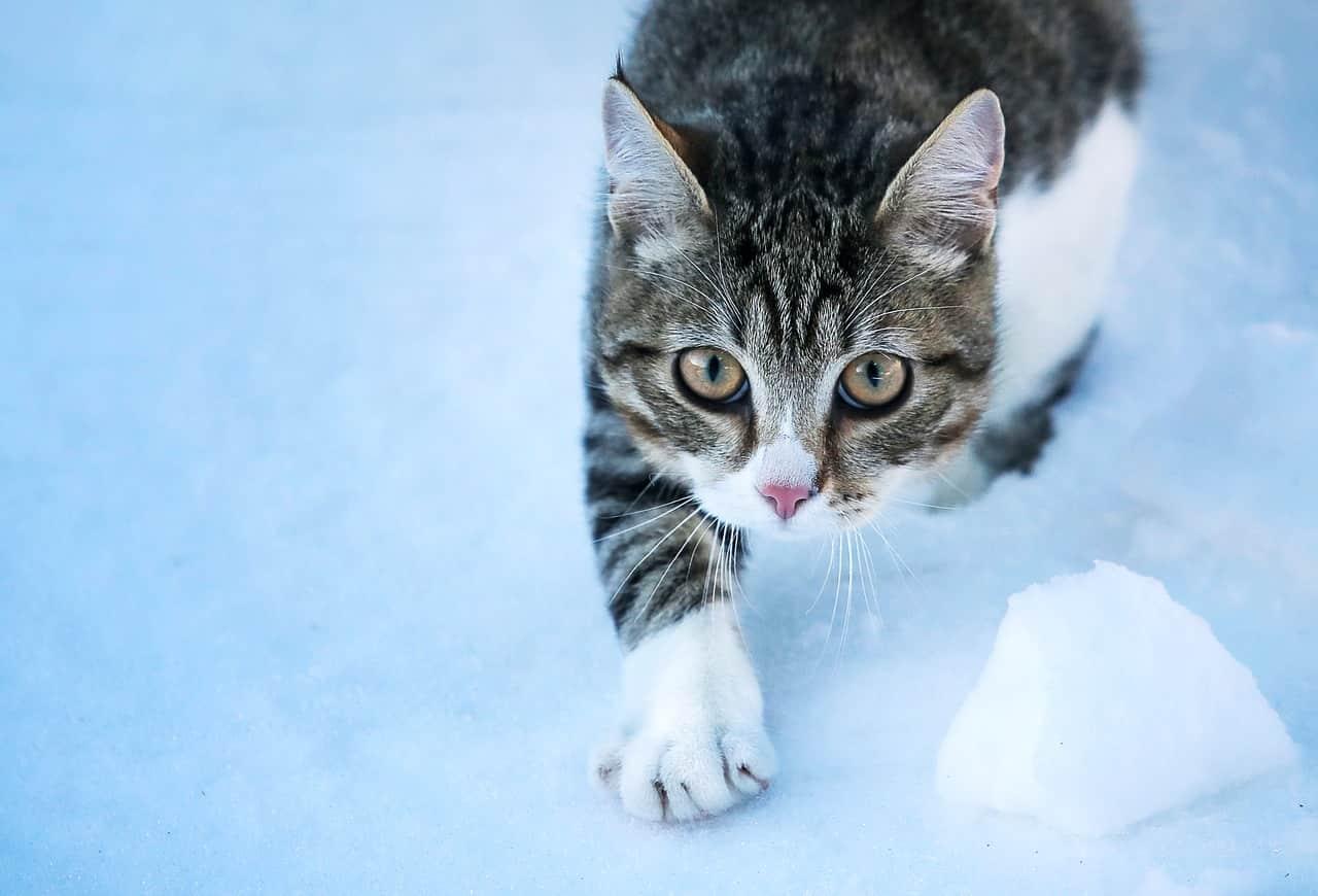 micio inverno manto bianco