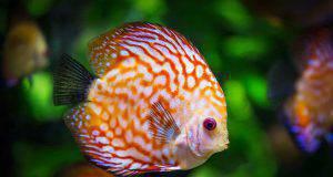 quanto vive pesce acquario