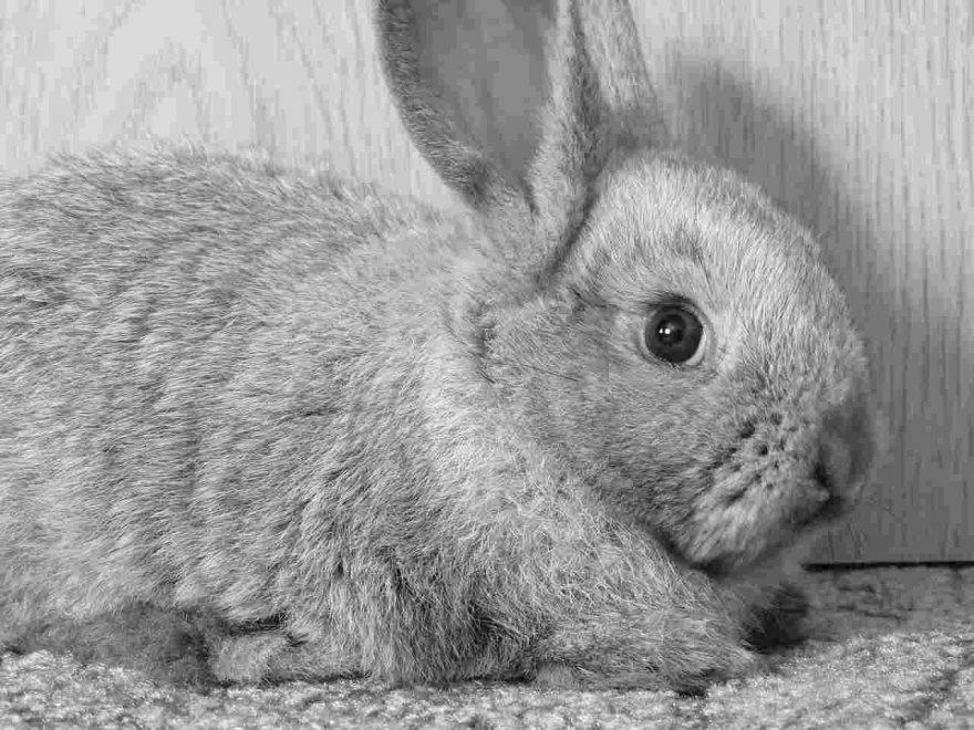 Coniglio depresso
