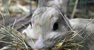 Coniglio e fieno