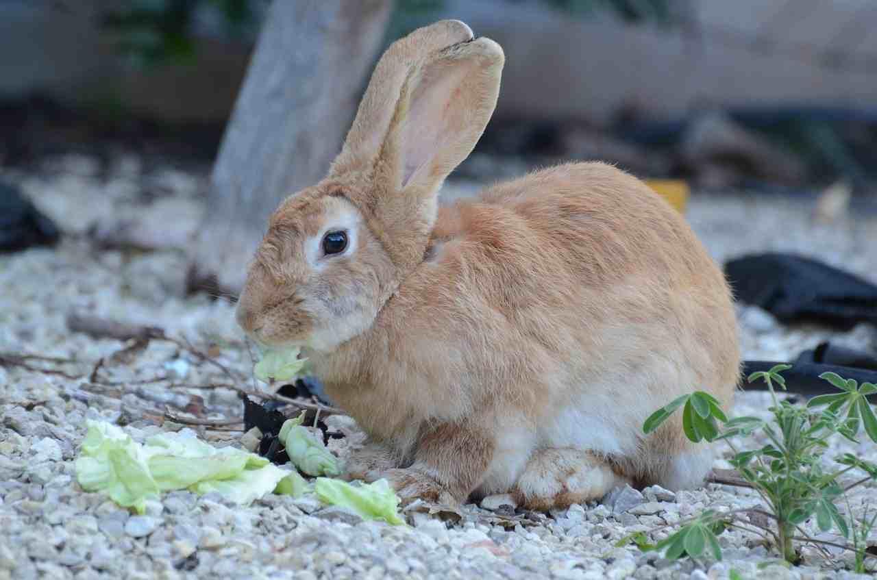 Coniglio spinaci