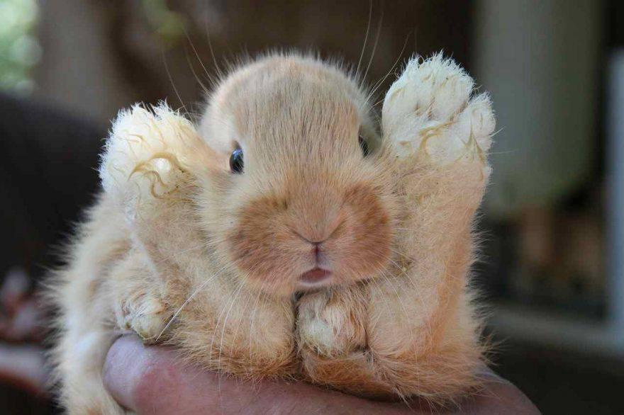 Riproduzione del conigli