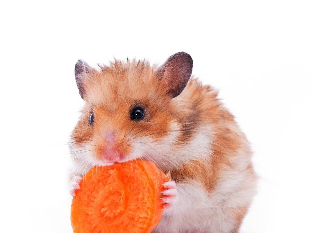 criceto carota