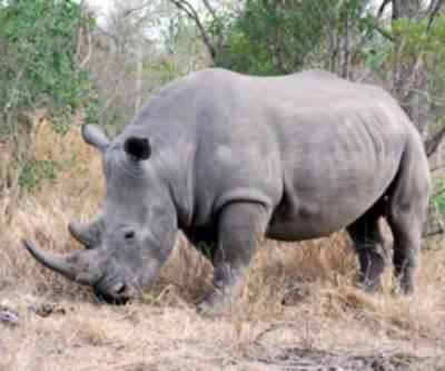Rinoceronte bianco al Bio parco
