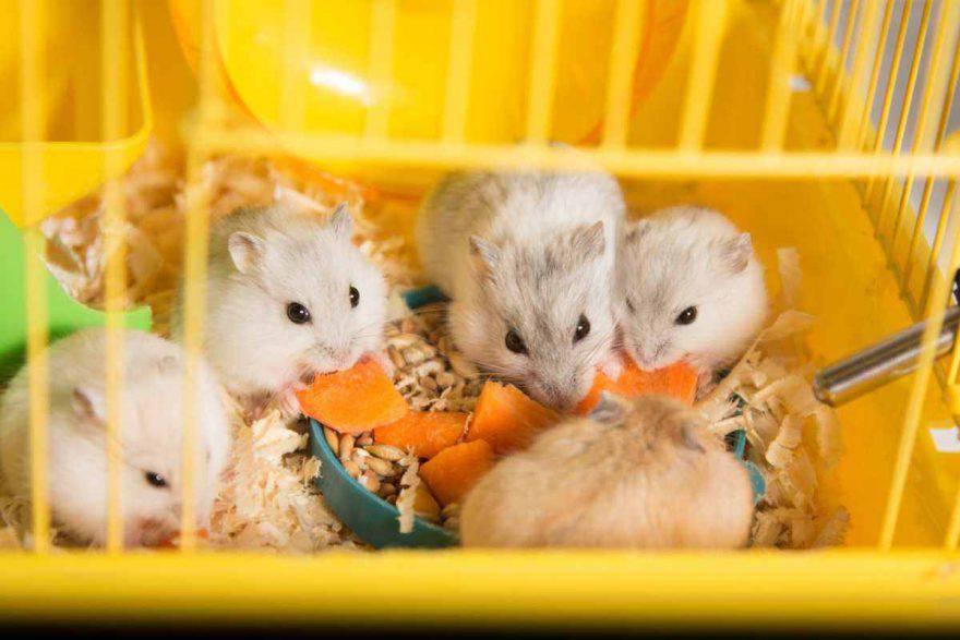 riproduzione del criceto: dall'accoppiamento alla gravidanza e la cura dei cuccioli (foto iStock)