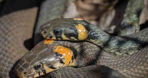 La riproduzione del serpente (foto Pixabay)