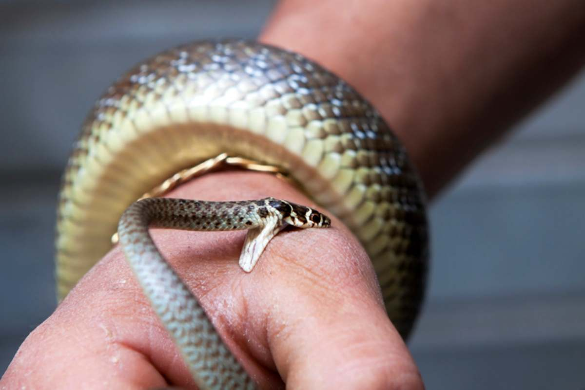 Il serpente domestico morde