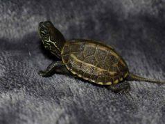 Quanto cresce una tartaruga