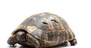 Rottura del guscio della tartaruga
