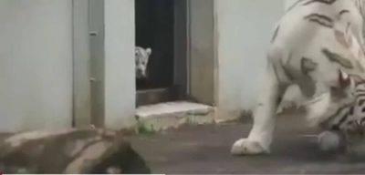 Cucciolo Tigre Bianca