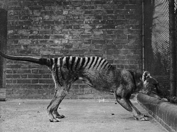 tigre della tasmania