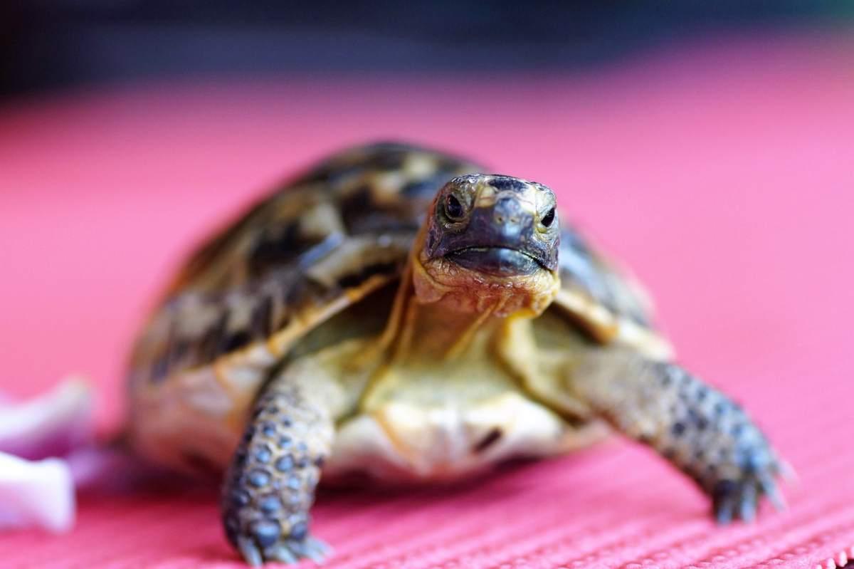 Riproduzione delle tartarughe terrestri
