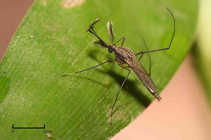 zanzara culex