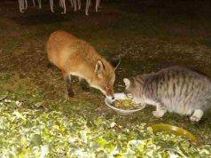 Il gatto e la volpe mangiano insieme (Foto Facebook)