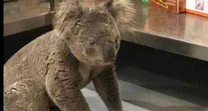 estinzione koala
