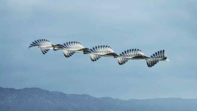 Stormi di uccelli in movimento (Foto Ornitographies Xavi Bou)