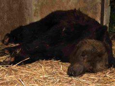 orso misha maltrattato circo