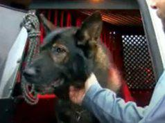 cane poliziotto giubbotto antiproiettile