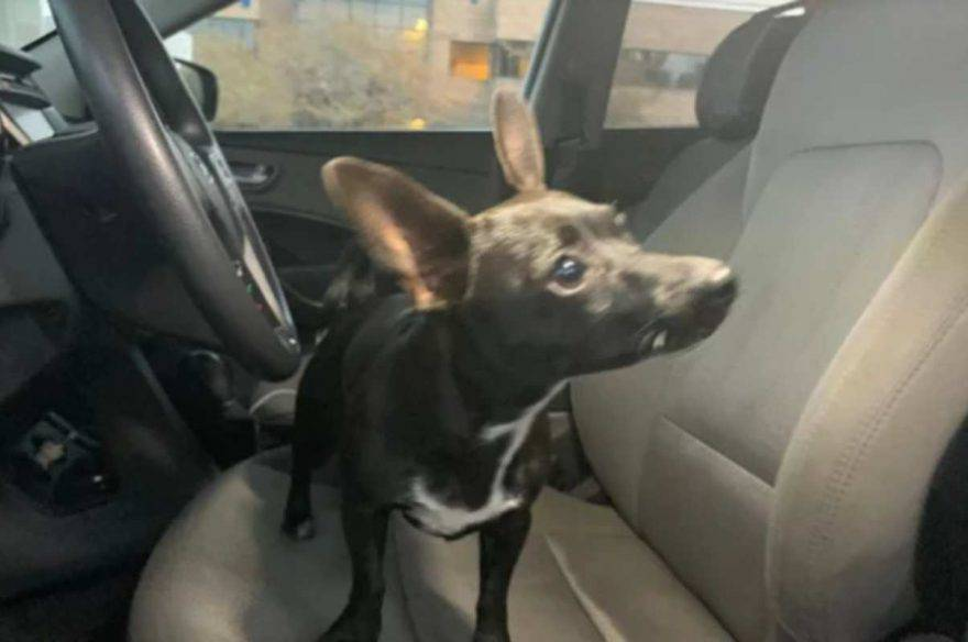 chihuahua guida auto