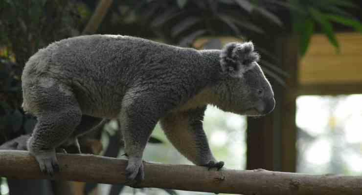 Il koala che cammina da un albero all'altro (Fonte Pixabay)