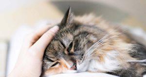 calicivirus nel gatto