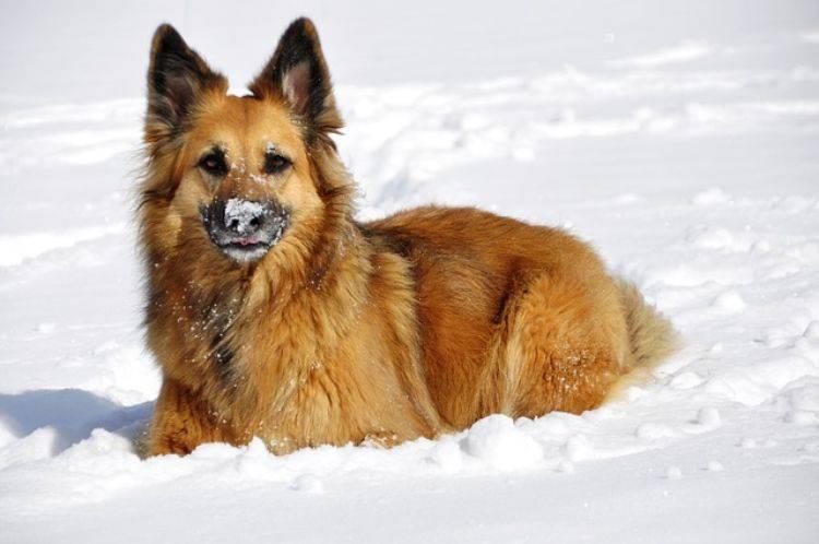 cane ha mangiato la neve
