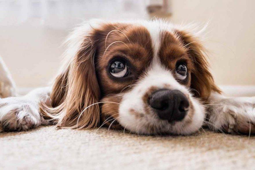 cane perplesso