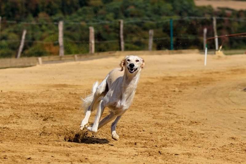 Razze di cani che amano correre