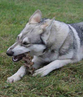 cane ingerisce corpo estraneo