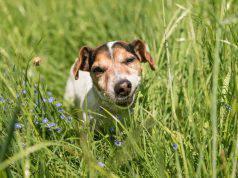 Il cane ha mangiato l'erba gatta