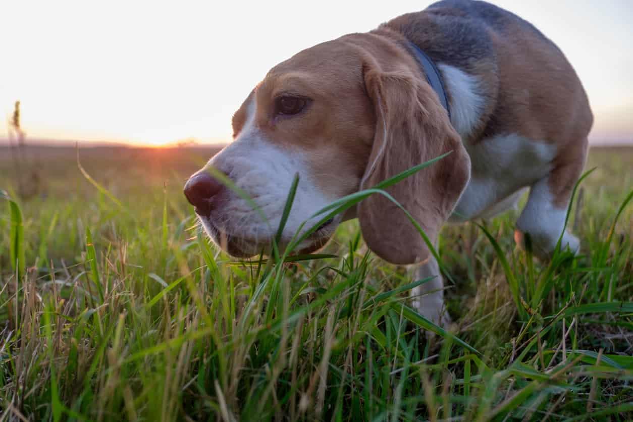 Il cane può mangiare l'erba gatta