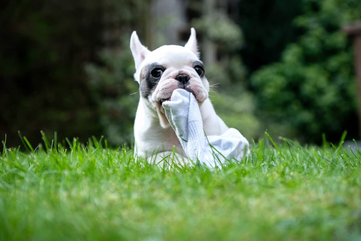 Il cane ha mangiato un calzino