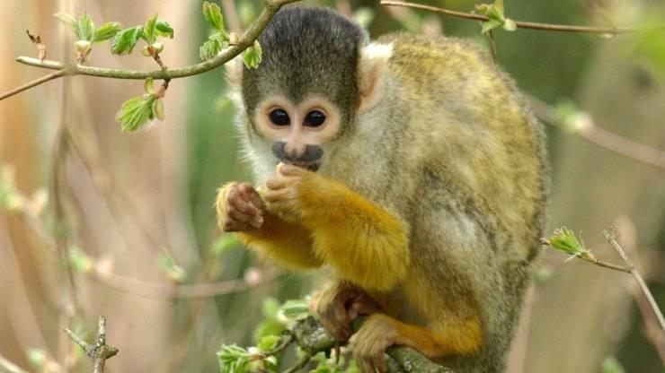 scimmia cappuccina domestica scimmietta