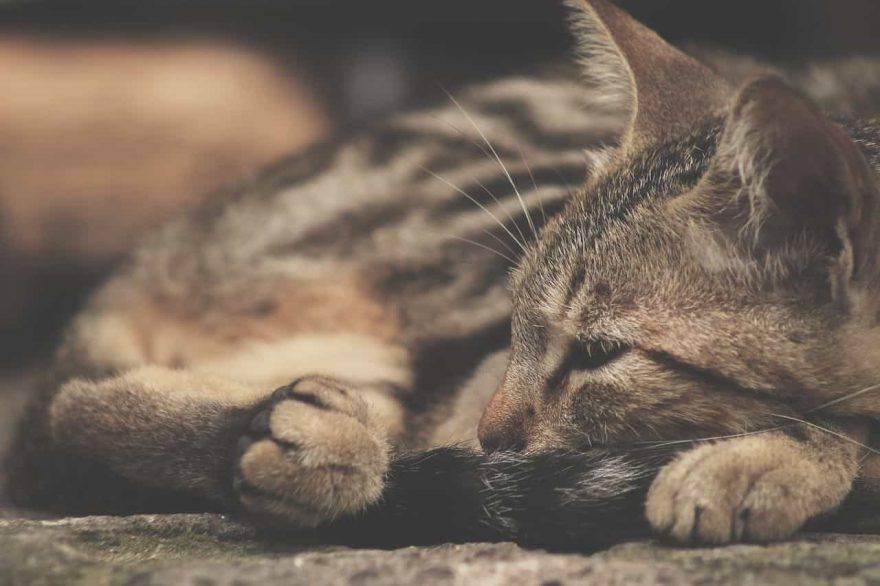 gatto sente dolore