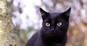 animali neri melanici