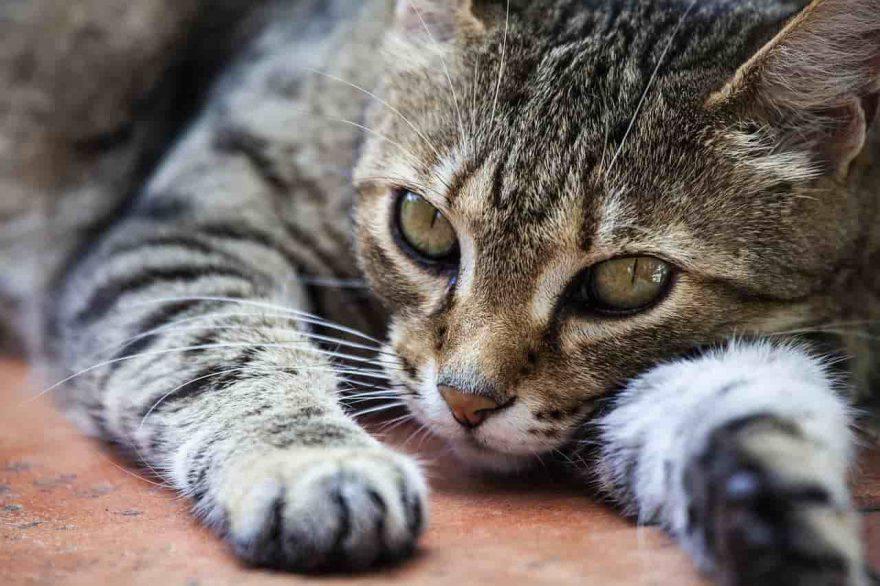 dolore gatto come aiutarlo