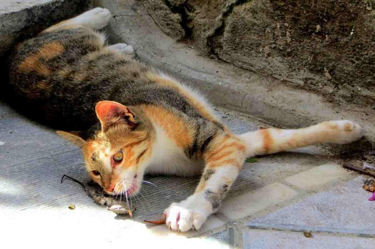 Leptospirosi nei gatti
