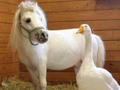 oca pony amici