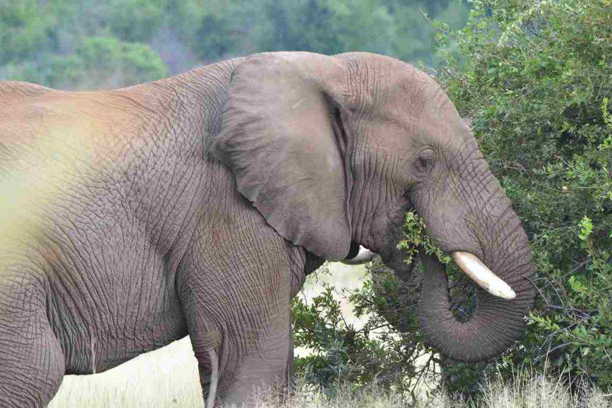 Cosa mangia l'elefante