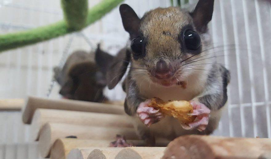 cosa mangia lo scoiattolo volante