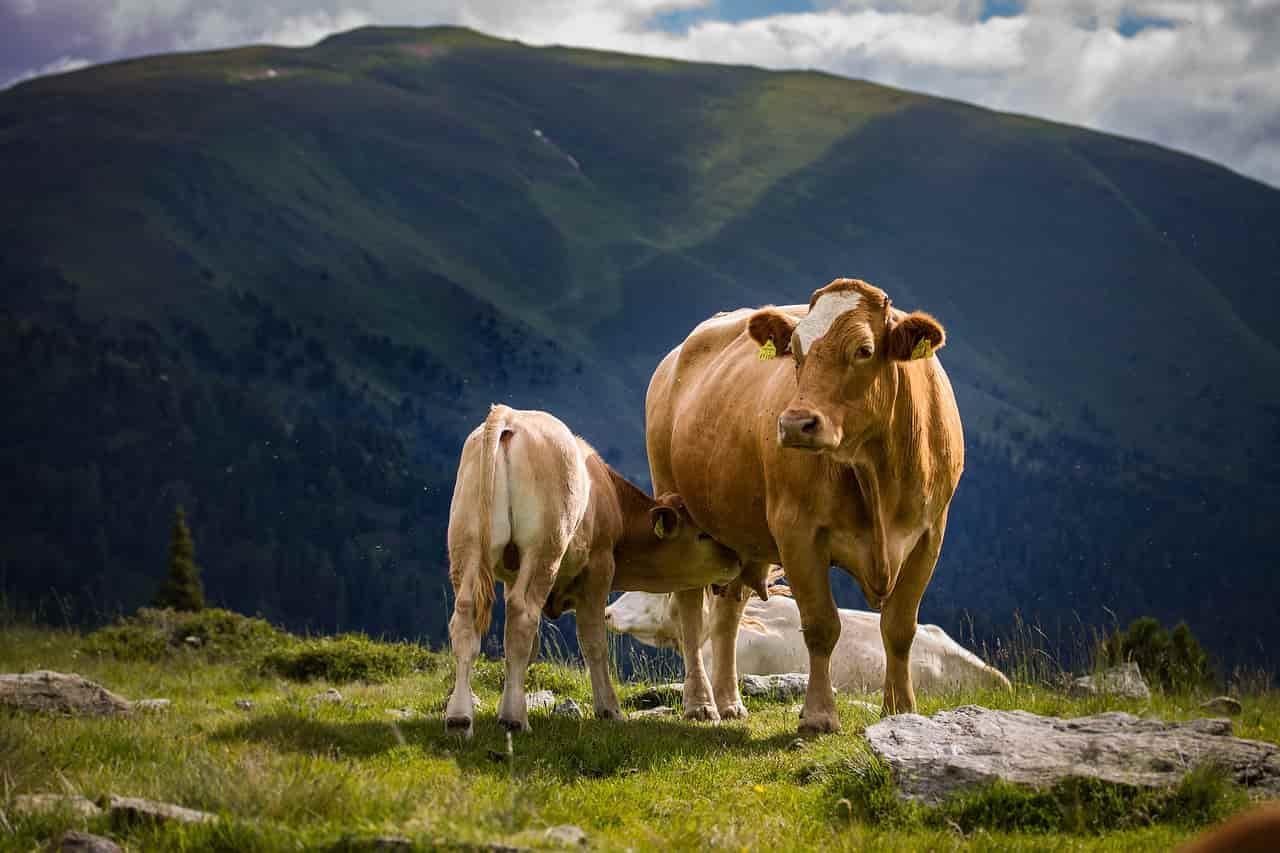 La mucca e l'istinto materno (Foto Pixabay)