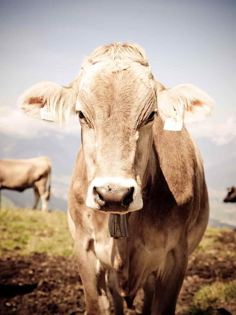 L'intelligenza della mucca (Foto Pixabay)