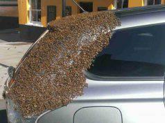 sciami d'api insegue auto