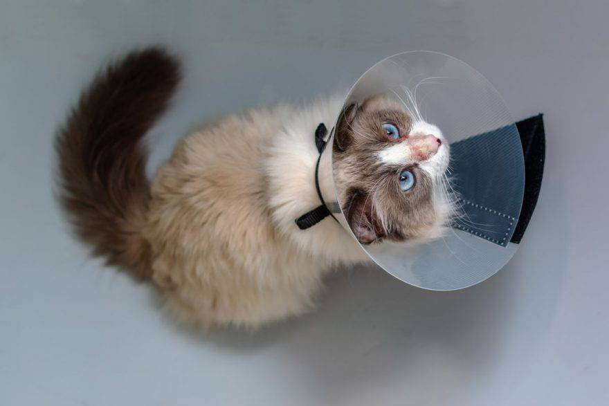 Dermatite miliare nel gatto