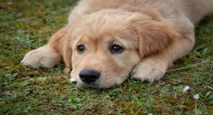Lo sguardo triste e indifeso del cane (Foto Pixabay)