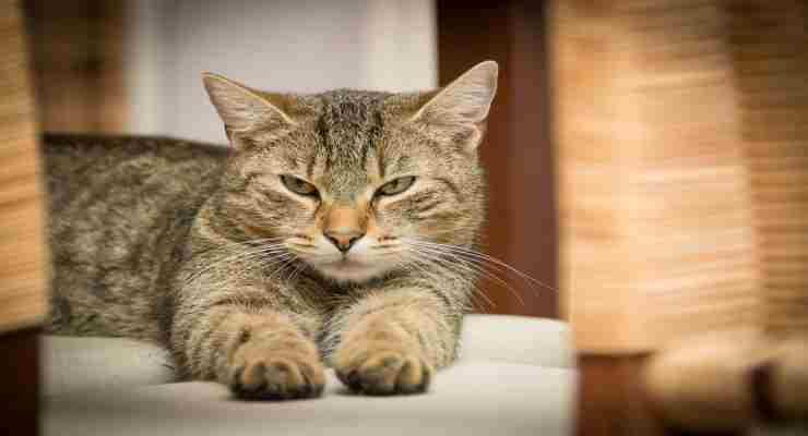 La titubanza iniziale del gatto (Foto Pixabay)