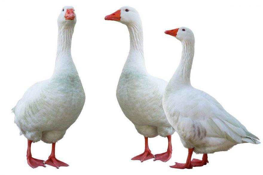 oca bianca caratteristiche