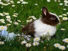 La dolce bellezza del coniglio (Foto Pixabay)